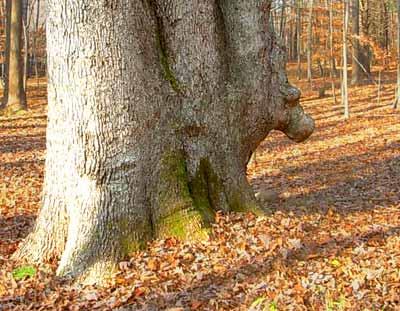 Horsehead Tree