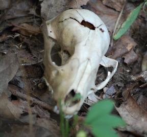 Critter Skull