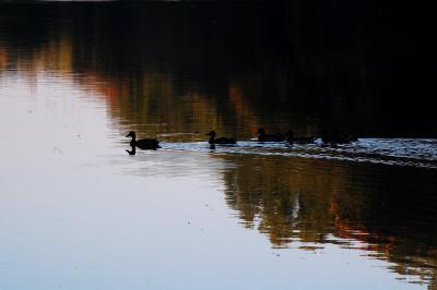more-ducks.jpg