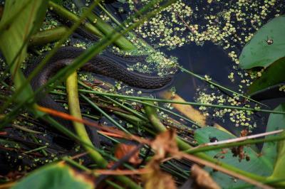 water-snake.jpg